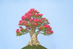 Bonsai with pink flowers stock photography