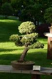 Bonsai pinus parviflora Stock Image