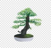 Bonsai Pinus Pine tree vector on transparency background, tiny little tree with green leaves in the cement pot, ornamental decorat vector illustration