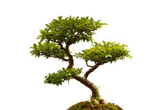 Bonsai plant Royalty Free Stock Images