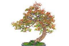 Bonsai plant stock image