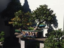 Potted cultivated bonsai courtyard garden Stock Image