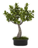 Bonsai plant in pot isolated on white Stock Image