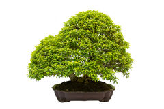 Bonsai plant in pot Royalty Free Stock Images