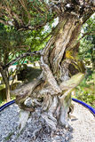 Bonsai plant tree trunk. In the Chinese Gardens, Singapore Royalty Free Stock Photos