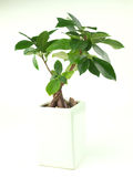 Bonsai plant in white container. On white background Royalty Free Stock Photo