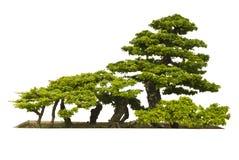 Bonsai planterar på vitbakgrund Royaltyfria Foton