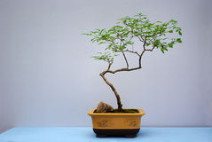 Bonsai plants Stock Images