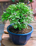 Bonsai plants Royalty Free Stock Photography