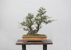 Bonsai plants Stock Photography