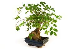 Bonsai. Poco albero verde Fotografie Stock