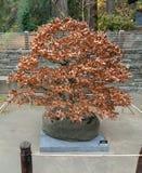 Bonsai podczas jesieni zdjęcie royalty free