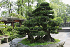 Free Bonsai-Podocarpus Macrophyllus 2 Stock Photo - 52838490