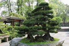 Bonsai-Podocarpus macrophyllus 2 Stock Photo