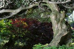 Bonsai-Podocarpus macrophyllus Stock Photo