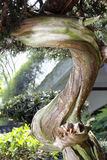 Bonsai-Podocarpus macrophyllus  Royalty Free Stock Photos