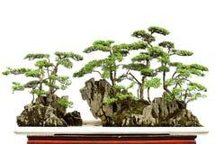 bonsai porcelana Obrazy Royalty Free