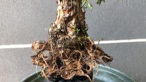 Bonsai in pot royalty-vrije stock afbeelding