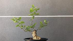 Bonsai in pot royalty-vrije stock fotografie