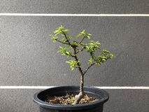 Bonsai in pot stock photography