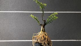 Bonsai in pot stock photo
