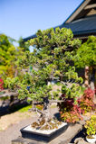Bonsai in the pot Stock Images