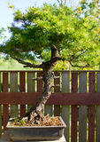 Bonsai in the pot Royalty Free Stock Images