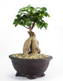 Bonsai Pot Plant Royalty Free Stock Images