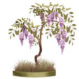 Bonsai potted tree with flowers of wisteria glicinia isolated Royalty Free Stock Photo