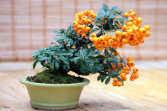 Bonsai Pyracantha angustifolia -  tree with bright fruits in pot Royalty Free Stock Image