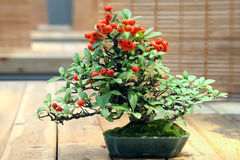 Bonsai Pyracantha augustifolia. Stock Photography