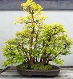 Bonsai Quince tree Royalty Free Stock Photo