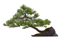 bonsai returnerar little tree Royaltyfria Bilder