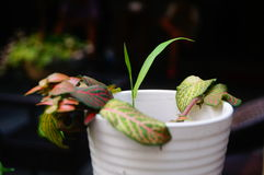 Bonsai rośliny Obrazy Stock