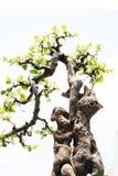 bonsai rockery obraz royalty free