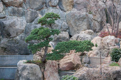 Bonsai on a rocky slope. In high quality Stock Photography