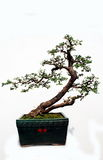 Bonsai of Rutaceae. Royalty Free Stock Photos