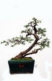 Bonsai of Rutaceae. Glycosmis citrifolia (Willd.) Lindl,Chinese herbal medicine,a miniascape miniature garden Royalty Free Stock Photos