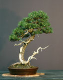 bonsai sörjer Royaltyfria Foton