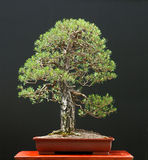 bonsai sörjer scots Royaltyfri Fotografi
