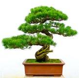 Bonsai sörjer treen Arkivbilder