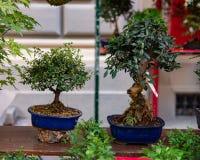Bonsai są miniaturowymi drzewami które celowo utrzymują przyćmiewają, nawet przez wiele lat, przez przycinać i korzeniowa redukcj zdjęcie royalty free