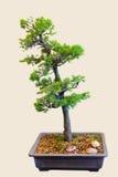 bonsai sörjer spruce arkivbild