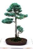 bonsai sawara cyprysowy fałszywy Fotografia Stock