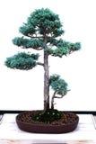 Bonsai - sawara valse cipres Royalty-vrije Stock Foto's