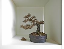 Bonsai shelf III. A dead bonsai sits on a square white shelf. Minimal design suggests Autumn Royalty Free Stock Image
