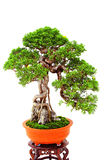Bonsai shohin chinese juniper Stock Image