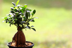 Bonsai. Small bonsai tree for home decoration Royalty Free Stock Image