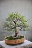 Bonsai Small Tree. One Bonsai Small Small Tree Royalty Free Stock Image