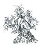 Bonsai som är svartvit Royaltyfri Bild